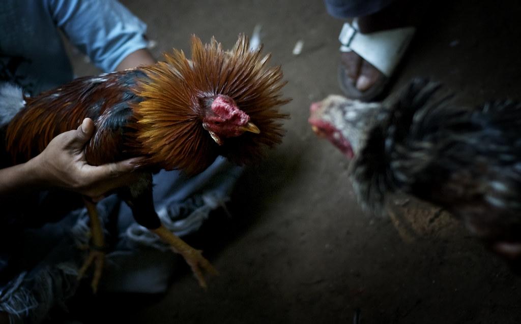 Beberapa Hal yang Perlu Dimengerti Penjudi Sabung Ayam